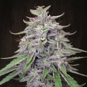 Bangi Haze ACE Seeds