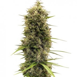 Golden Tiger 3ª versión ACE Seeds