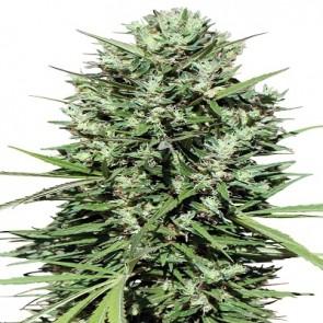 Marruecos Beldia Kif ACE Seeds
