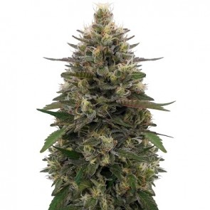 Pakistani Skunk ACE Seeds