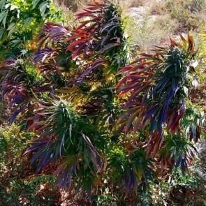 Purple Dasht Indian Landrace Exchange ACE Seeds website
