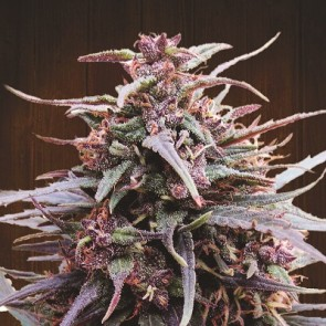 Purple Haze Malawi ACE Seeds