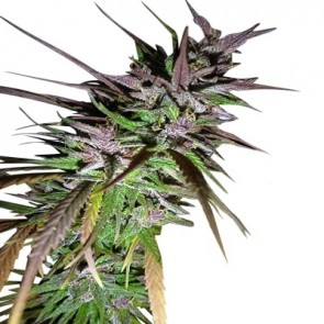 Purple Pakistani Haze ACE Seeds
