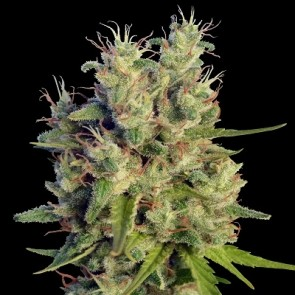 Super Malawi Haze ACE Seeds