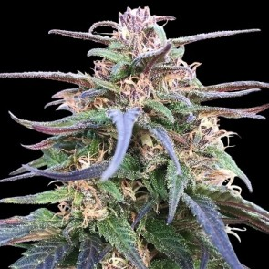 Zamal Bliss ACE Seeds