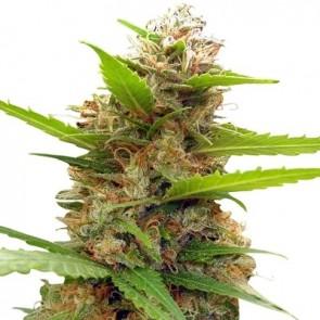 Zamaldelica x Nepal Jam ACE Seeds