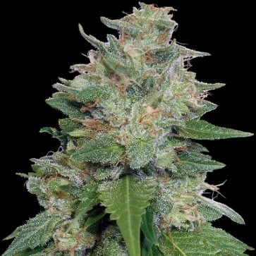 Bubba Kush x Kali China ACE Seeds