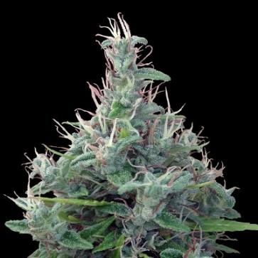 Líbano ACE Seeds