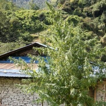Nepal Annapurna ACE Seeds