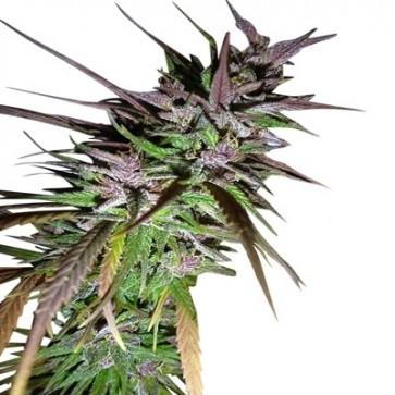 Purple Pakistani Haze ACE Seeds