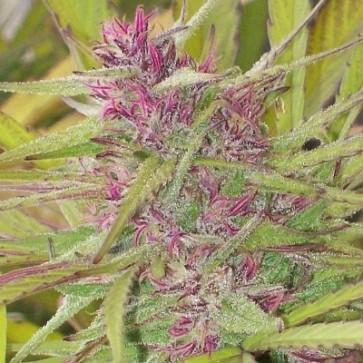 Purple Satellite Green Mountain Seeds