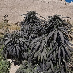 Zanjeer Indian Landrace Exchange - ACE Seeds website