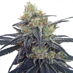 CBD #1 ACE Seeds