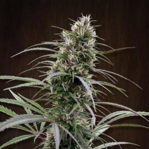 Congo ACE Seeds