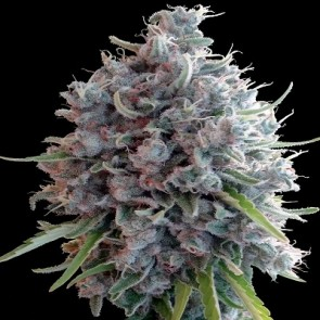 Killer A5 Haze ACE Seeds