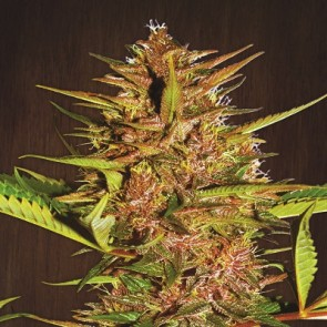 Pakistan Chitral Kush Breeders Pack Feminized