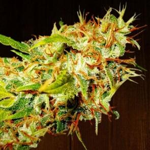 Zamaldelica ACE Seeds